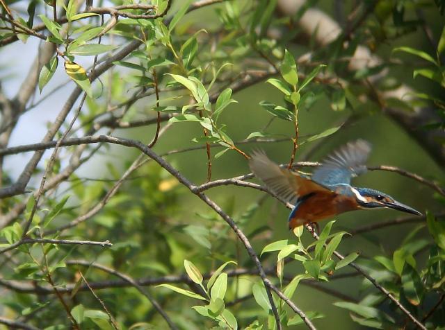幼鳥の飛翔3